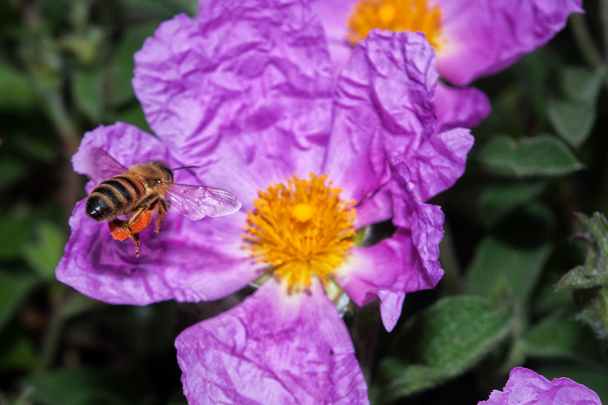 DI FIORE IN FIORE (botanica e apicoltura)